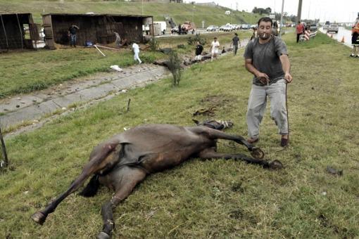 Al menos ocho caballos de Jesús María murieron tras volcar el camión que los trasladaba