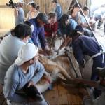 Manejo sustentable de la esquila del guanaco silvestre