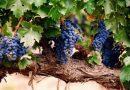 Historias curiosas: El origen de los nombres de las uvas tintas