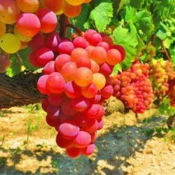 Inscribirán a productores de uva en fresco