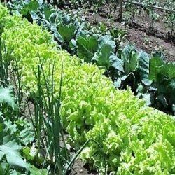 Productores podrán asegurar sus hortalizas