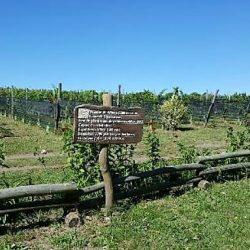 Córdoba: buscan impulsar la industria del vino