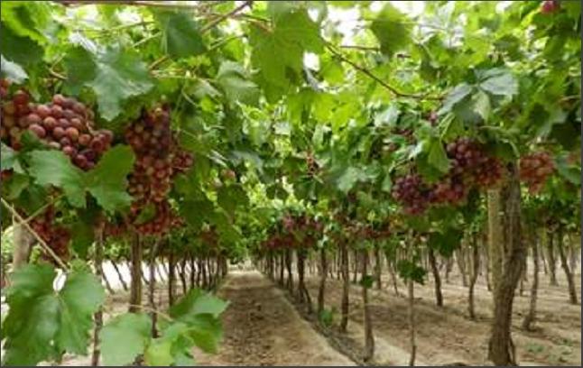 Productores de vid deben efectuar la cosecha  completa