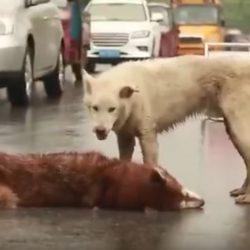 Perro ayuda a su compañero moribundo... Video