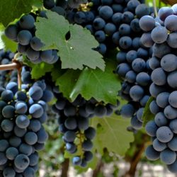 Nuevo fertilizante para uvas y frutales