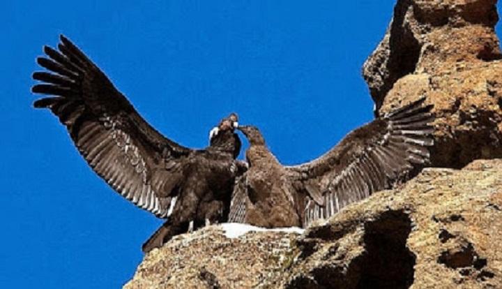 Crearán Santuario del Cóndor Andino en el Valle de Las Tinajas