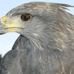 Piden declarar al Águila Coronada Patrimonio Natural Departamental