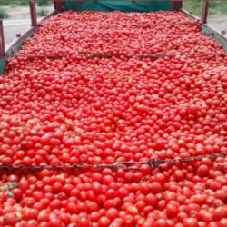 Buscan potenciar producción del tomate industria en Mendoza