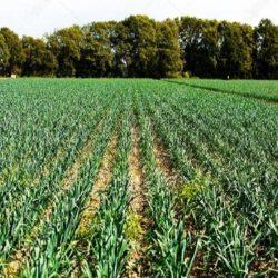 Esperan crecimiento del 14% en la superficie implantada con ajo