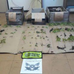 """""""Plantas furtivas"""": incautan 44 plantines de marihuana arrojados en una ruta mendocina"""