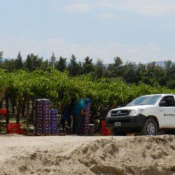 Extendieron plazo preinscripción de productores de uva en fresco para exportar a China