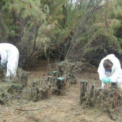 Campaña de recuperación del Humedal Llancanelo por invasión de flora exótica