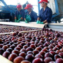 Economía elabora planes de industrialización para ciruela