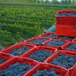 Vinos orgánicos: se posicionan en Argentina y San Rafael no está ausente