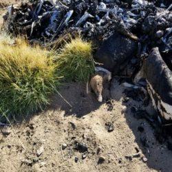 Cóndores muertos: confirmaron la presencia de carbofurano