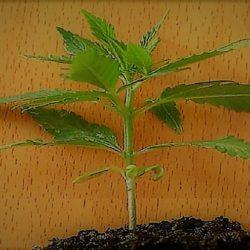 Aprobaron la siembra y cultivo de cannabis